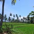 Reisfelder Ost-Java