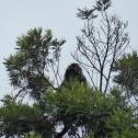 Black leaf monkey, Ost-Java