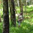 Kautschukplantage, Ost-Java